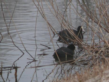 Meerkoeten maken een nestje weblog
