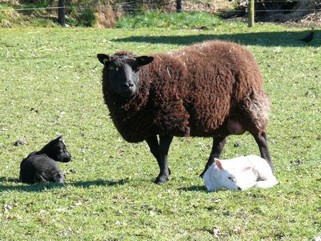 Ooi met zwart en wit lam weblog