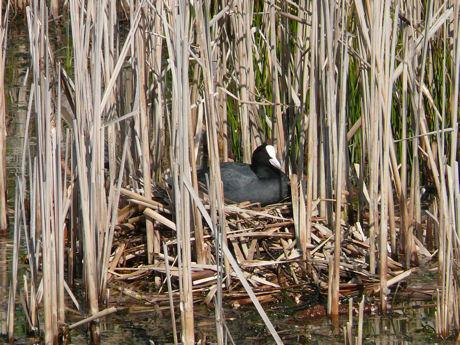 Meerkoet op nest weblog