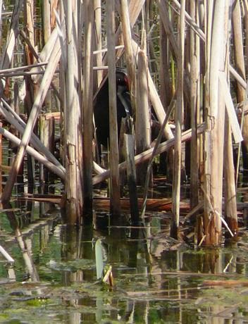 Waterhoentje op nest weblog