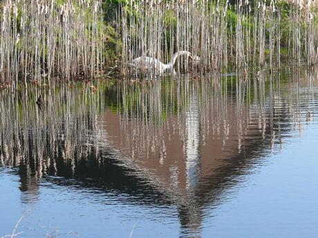 Zwaan bij haar nest weblog
