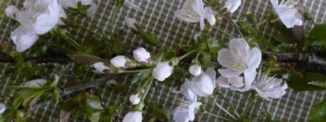 Witte bloesem weblog