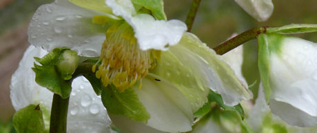 Water op helleborus weblog