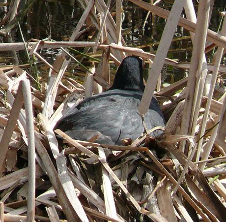 Meerkoet op nest 1 weblog