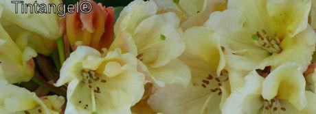Rododendron weblog