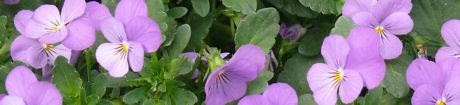 Viooltjes lila weblog