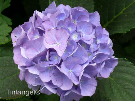 Hortensia blauw w