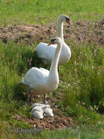 Zwanen gezin 15 juni weblog