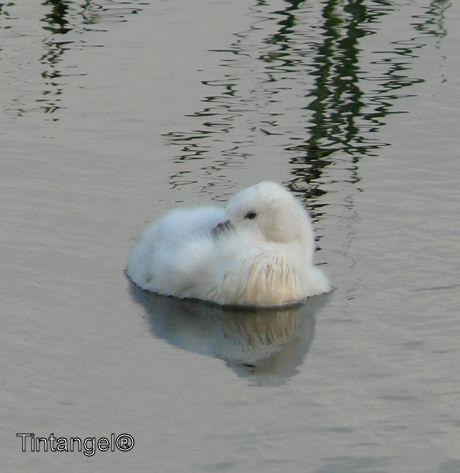 Kleine zwaan liggend weblog