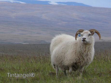 IJslandseram