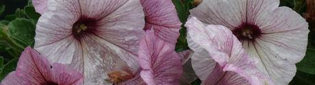 Petunia's weblog