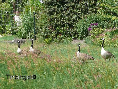 Ganzen in de tuin weblog 1