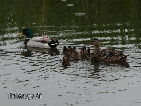 Eenden gezin weblog