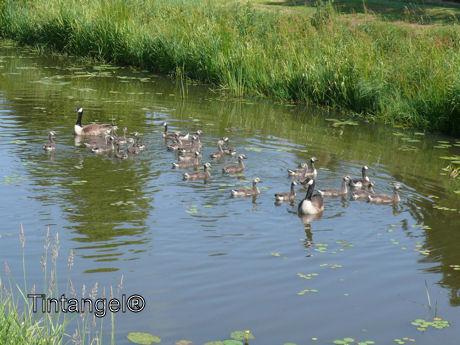 Groot ganzen gezin 1 weblog
