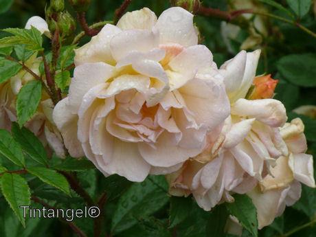 Oranje roos weblog x