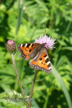 Vlinder op distel w