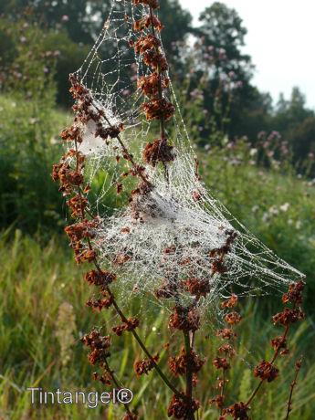 Spinnenweb op zuring w
