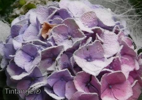 Poedersuiker hortensia web