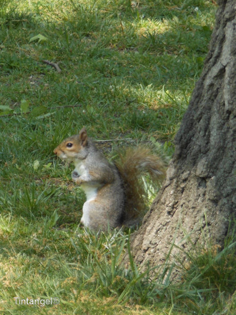 Eekhoorn Central Park