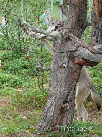 Handige wolf