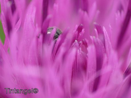 Roze web