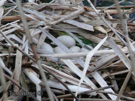 Meerkoet nest web