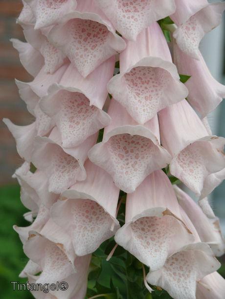 Vingerhoedskruid roze web