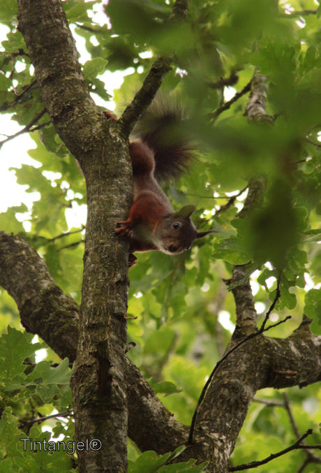Eekhoorn(1)  IMG_5486 natuurkieker 2012 web