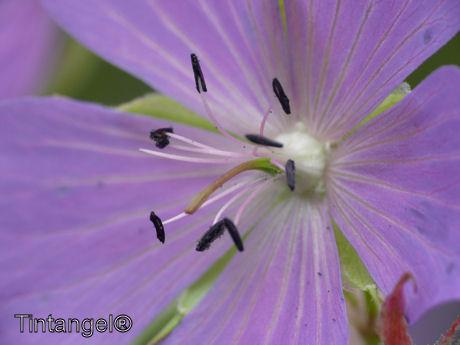 Geranium web