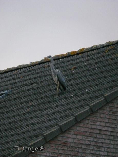 Reiger op het dak web
