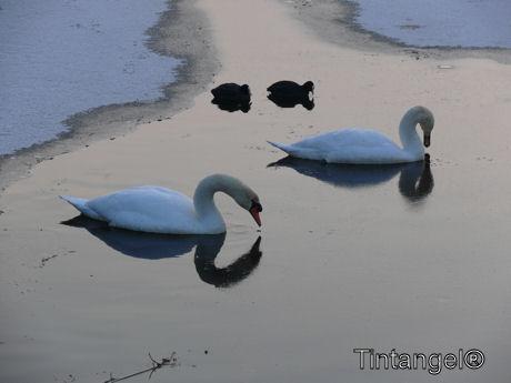Zwanen en meerkoeten