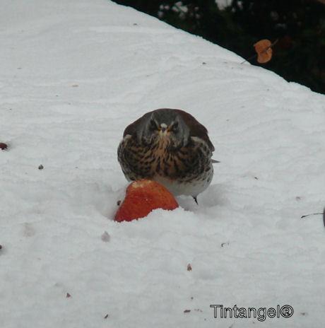 Kramsvogel in de tuin 3