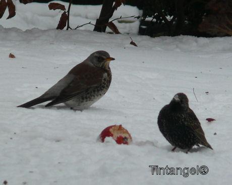 Kramsvogel en spreeuw