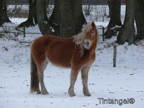Haflinger in de sneeuw