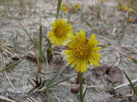 Klein hoefblad in bloei