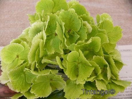 Groene hortensia