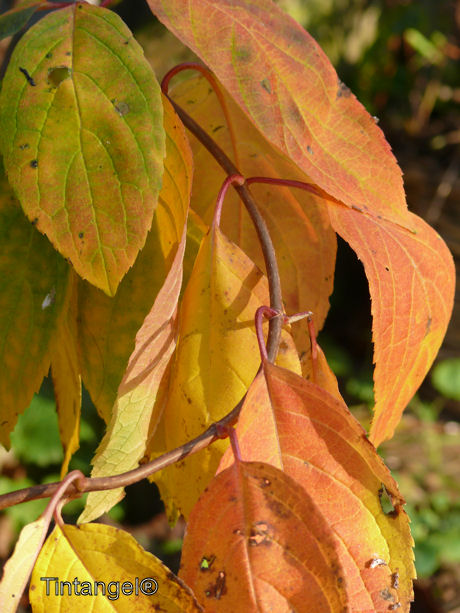Hortensias blad