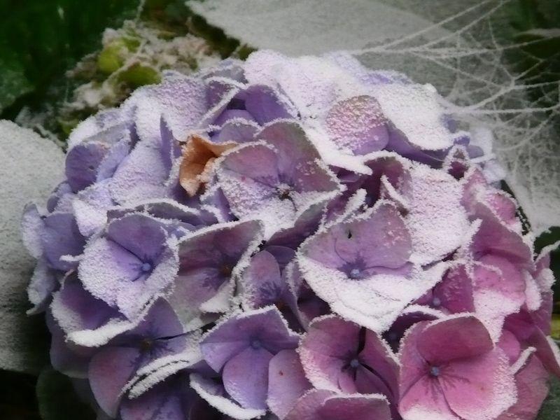 Poedersuiker hortensia