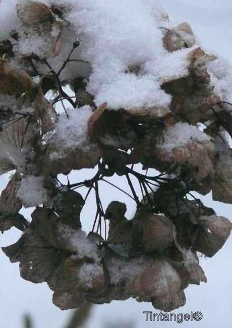 Sneeuw op hortensia