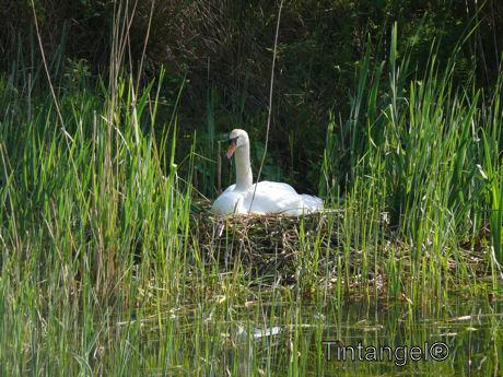 Zwaan op nest