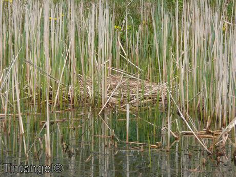 Nieuwe meerkoet nest
