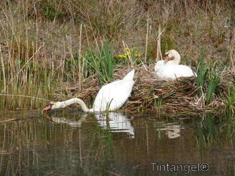 Zwanen op het nest