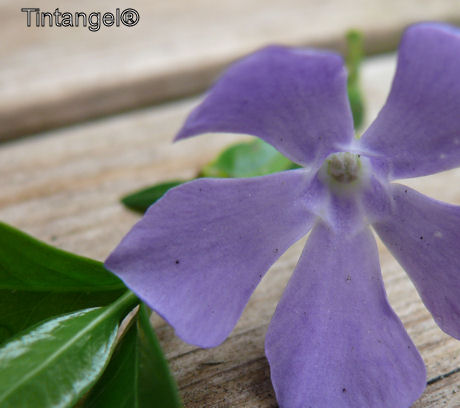 Periwinkle-maagdenpalm