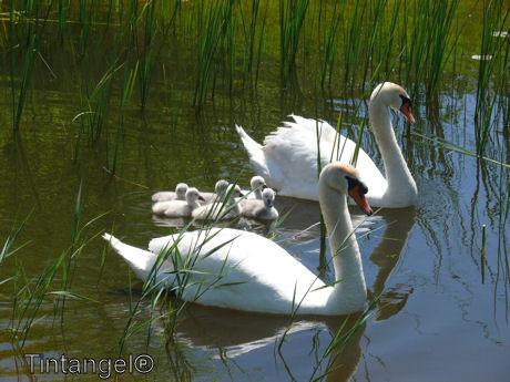 Zwanen gezin 2