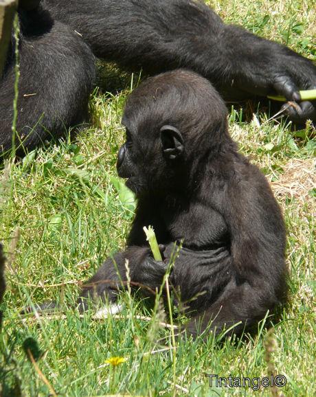Gorilla jong