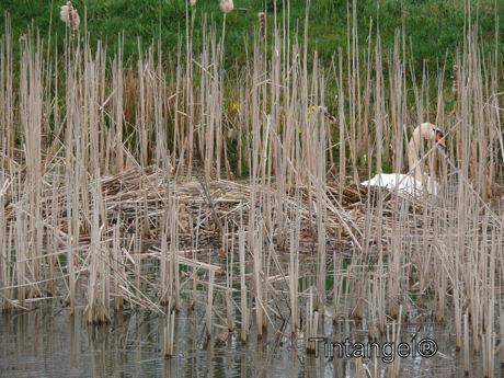 Zwaan maakt nest