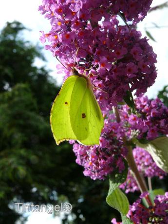 Citroen vlinder op budlea