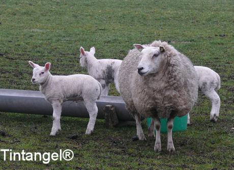 Lammetjes en schaap