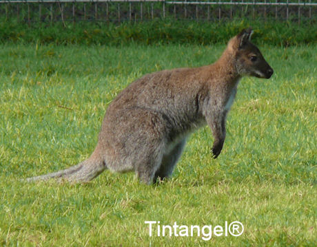 Wallaby 2 blog