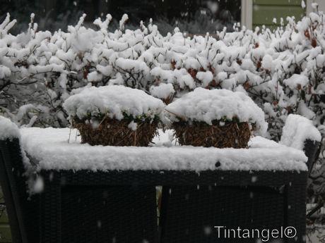 Viooltjes met sneeuw